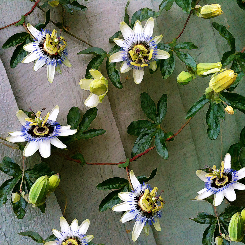 passionflower climber